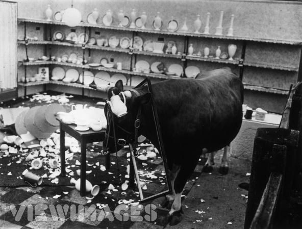 A bull in the China shop hur