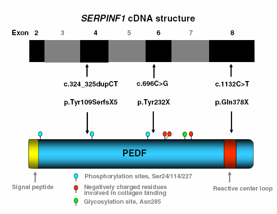 SERPINF1 kodar för PEDF (pigment-epitheliumderived factor) Figur visar mutationernas lokalisation i cdna