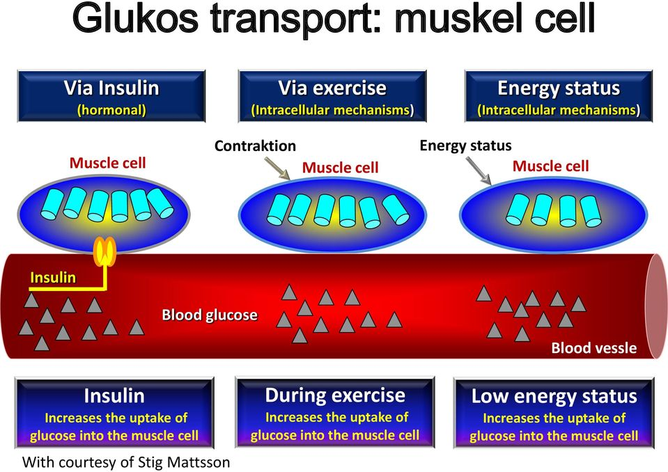 Blood vessle Insulin Increases the uptake of glucose into the muscle cell With courtesy of Stig Mattsson During