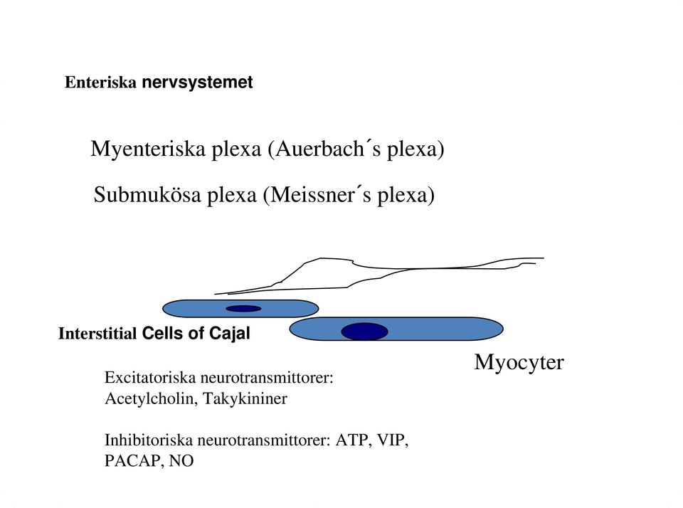 Cajal Excitatoriska neurotransmittorer: Acetylcholin,
