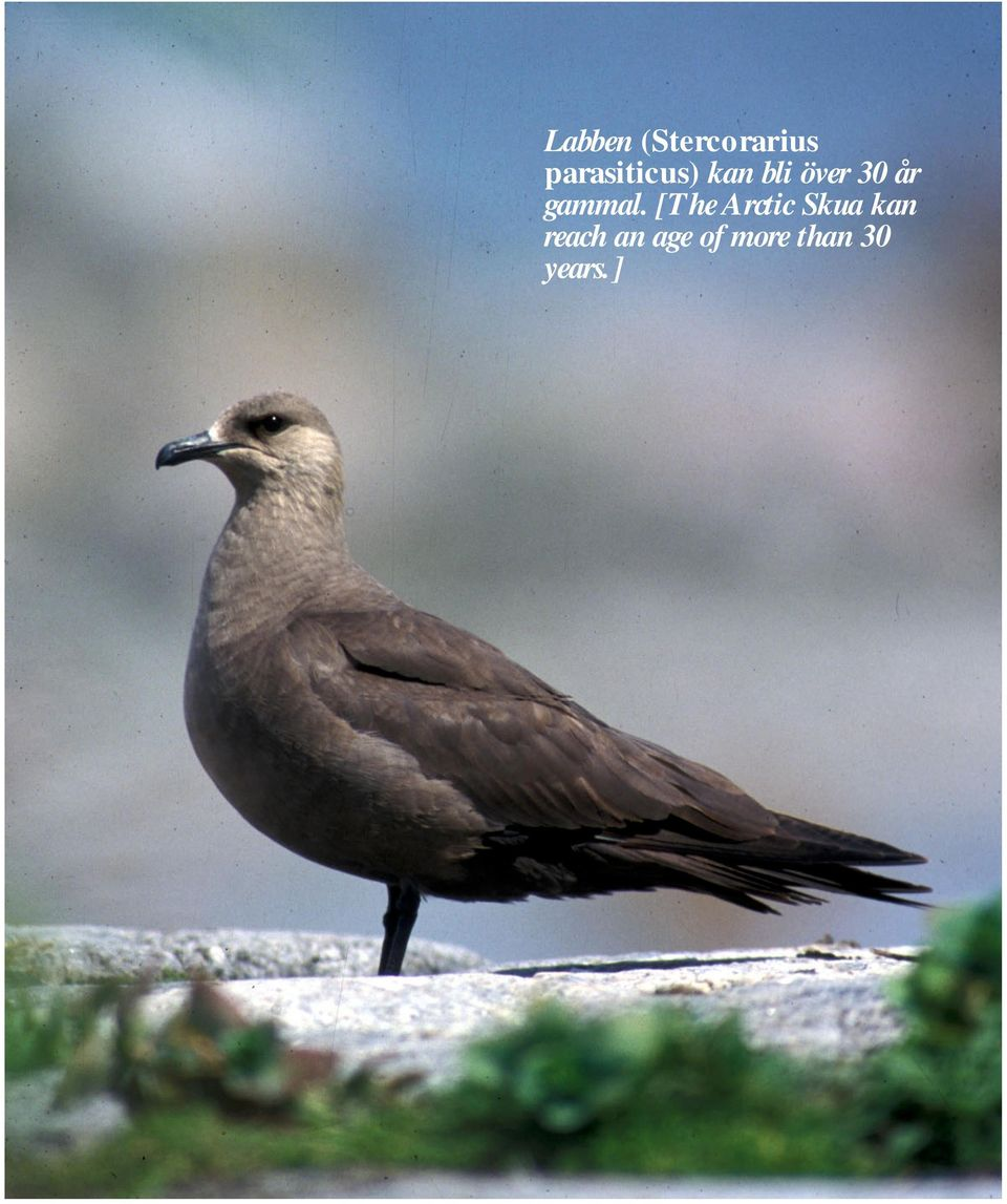 [The Arctic Skua kan reach an age