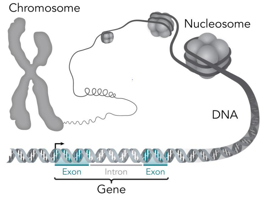 Fragmenterings-PCR https://upload.wikimedia.org/wikipedia/commo ns/e/e1/chromosome-dna-gene.