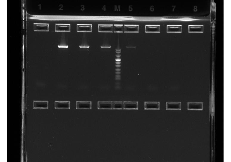 PCR analys,1200 bp produkt.