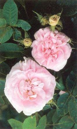 Hvítrós - Rosa alba Great Maidens Blush Great alba regale fyrir 1629 Nr.
