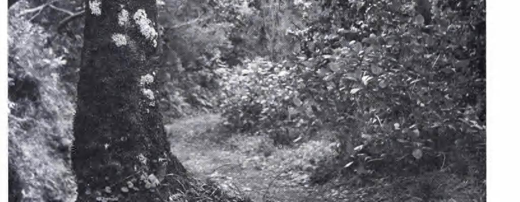 30.5.1966. Foto E. Sjögren. The path close to the levada to Balcoës leads through dense cloud-zone vegetation. The dominant shrubs are Erica scoparia, E.